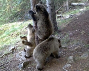 Els tres cadells d'ós al voltant d'un arbre