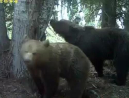 Una parella d'óssos del Pirineu, sorpresos festejant